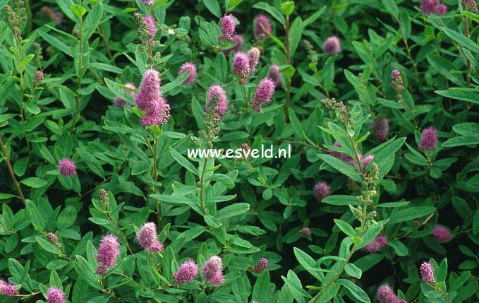 Spiraea billiardii 'Triumphans'
