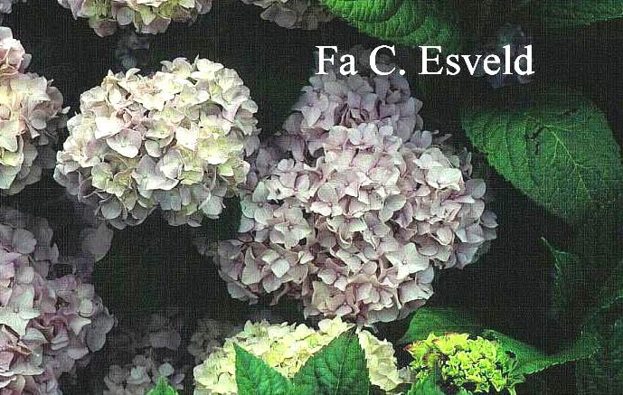Hydrangea macrophylla 'Semperflorens'