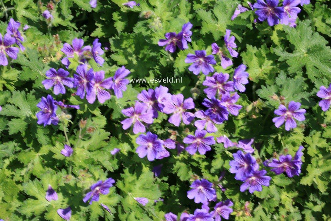 Geranium magnificum
