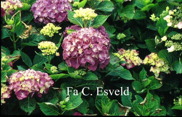 Hydrangea macrophylla 'Brunegg'