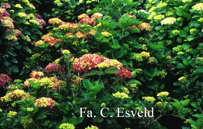 Hydrangea macrophylla 'Habsburg'