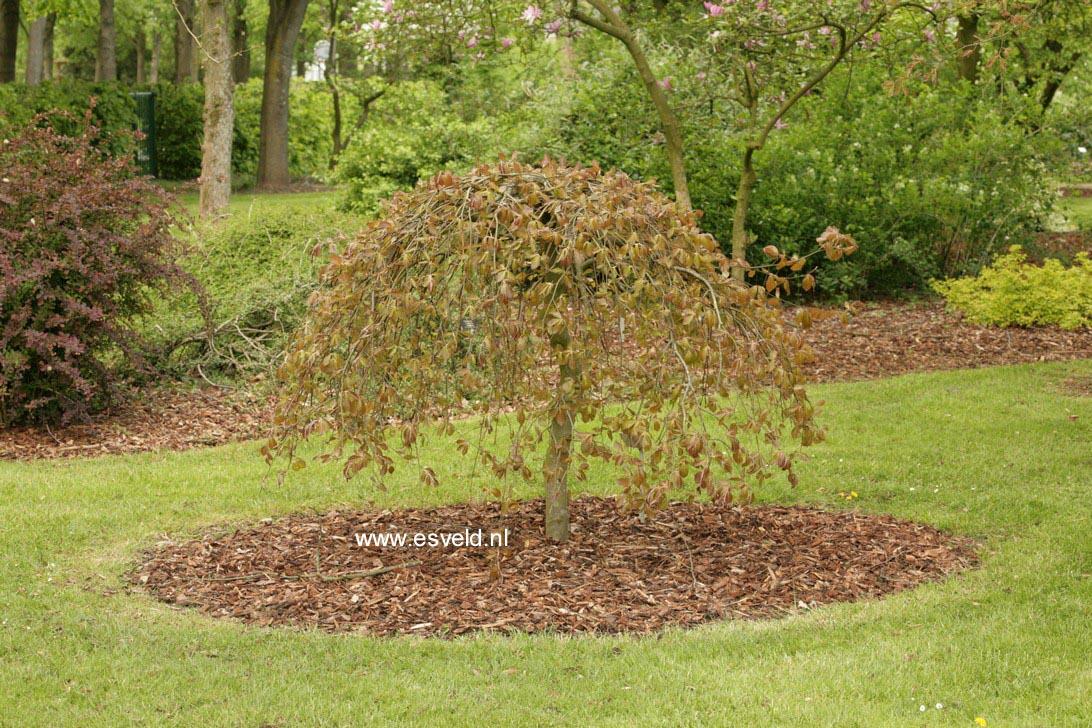 afbeeldingen en beschrijving van fagus sylvatica purpurea. Black Bedroom Furniture Sets. Home Design Ideas