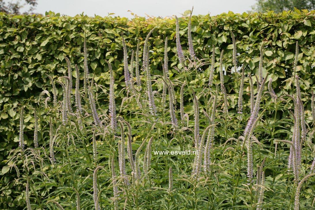 Veronicastrum virginicum 'Lavendelturm'