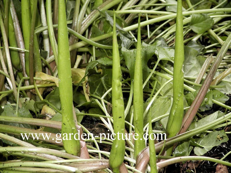 Arum italicum