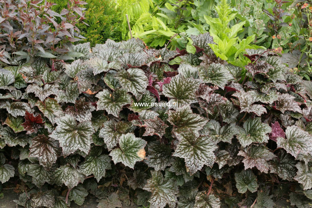 Heuchera micrantha 'Palace Purple'