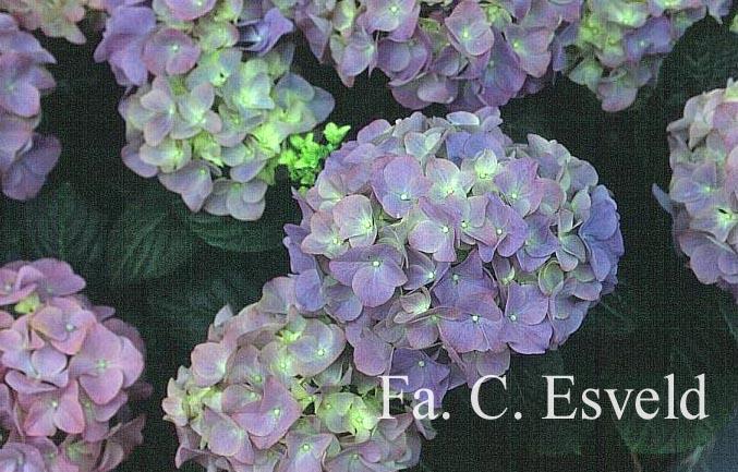 Hydrangea macrophylla 'Adria'