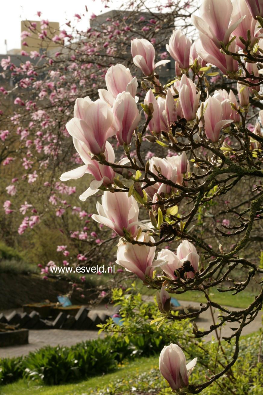 abbildungen und beschreibung von magnolia soulangeana. Black Bedroom Furniture Sets. Home Design Ideas