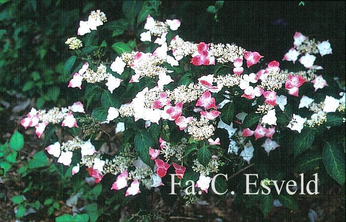 Hydrangea serrata f. macrosepala