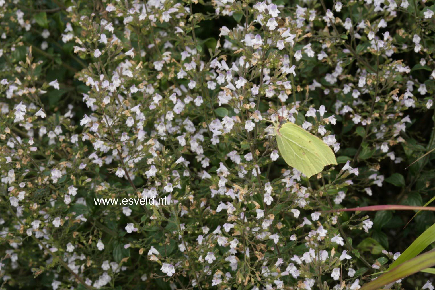 Calamintha nepeta ssp. nepeta