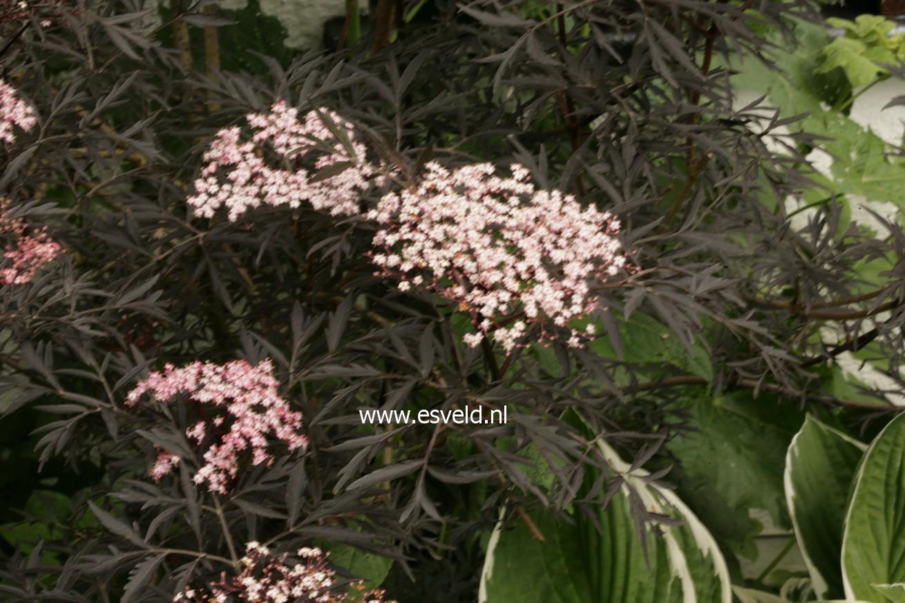 pictures and description of sambucus nigra eva black lace. Black Bedroom Furniture Sets. Home Design Ideas