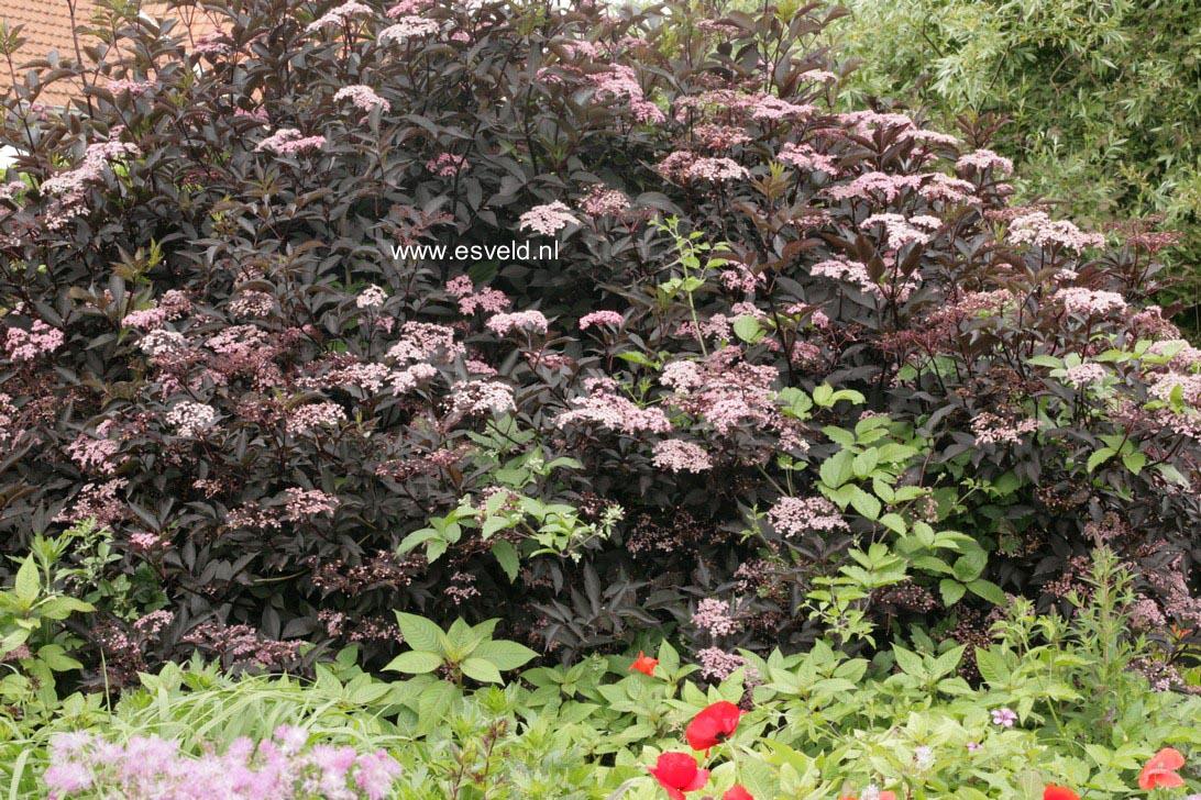 pictures and description of sambucus nigra gerda black beauty. Black Bedroom Furniture Sets. Home Design Ideas