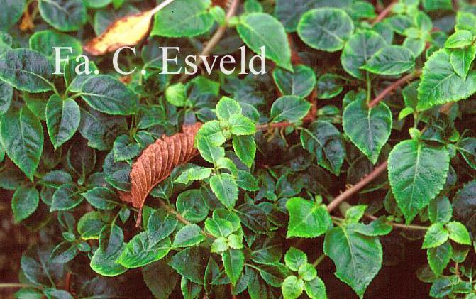 Hydrangea anomala ssp. glabra