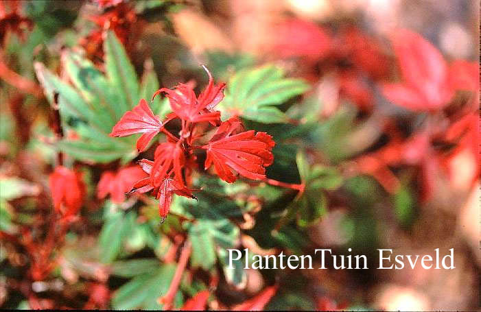 Picture And Description Of Acer Palmatum Kandy Kitchen