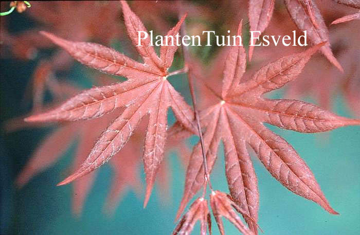 Picture And Description Of Acer Palmatum Red Baron