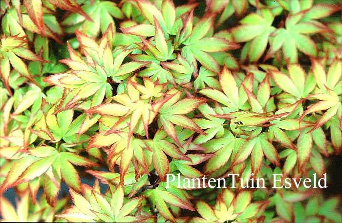 Picture And Description Of Acer Palmatum Komachi Hime