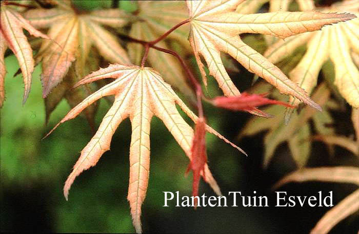 Acer palmatum 'Reticulatum Purple'