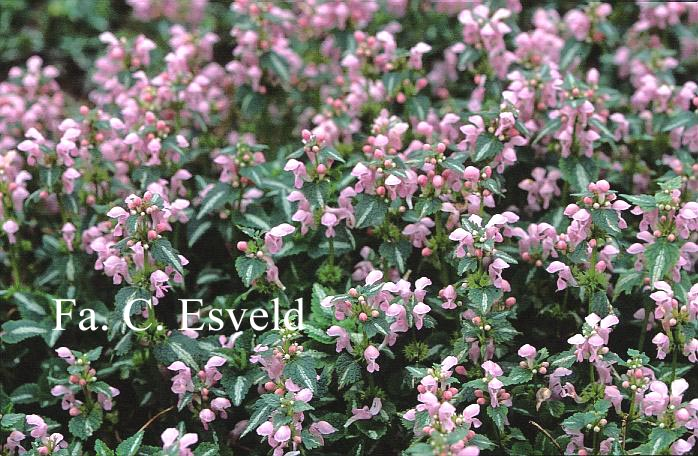 Lamium maculatum 'Shell Pink'