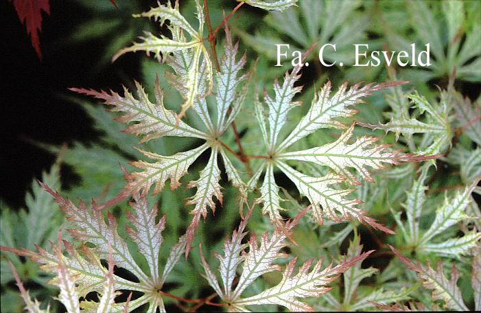 Picture And Description Of Acer Palmatum Sister Ghost