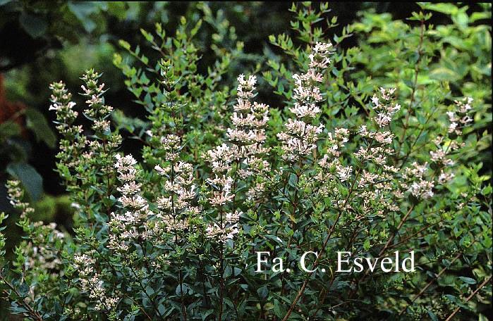 Abelia biflora