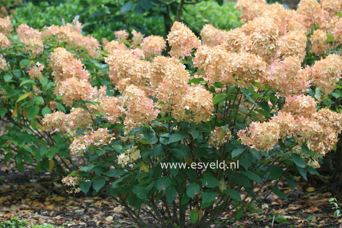 pictures and description of hydrangea paniculata phantom. Black Bedroom Furniture Sets. Home Design Ideas