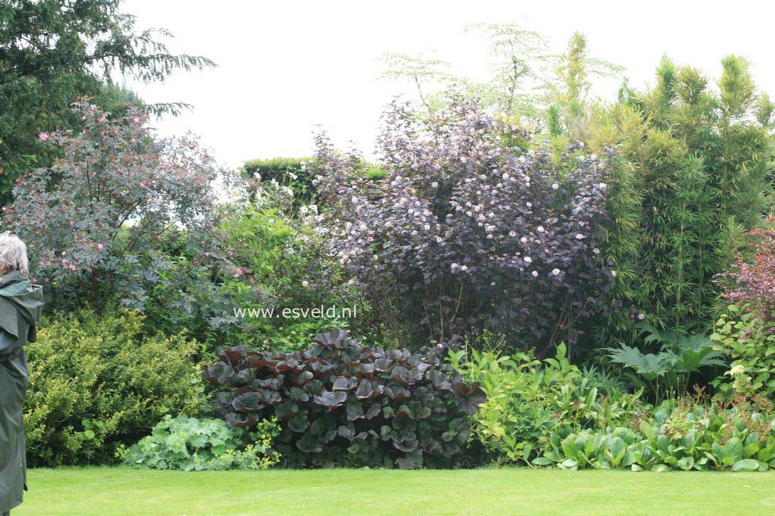 afbeeldingen en beschrijving van physocarpus opulifolius. Black Bedroom Furniture Sets. Home Design Ideas