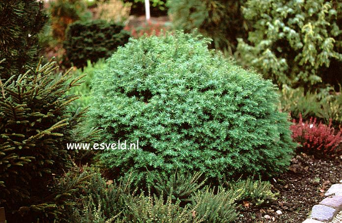 Cryptomeria japonica 'Mushroom'