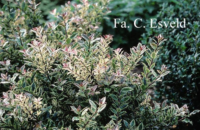 Ilex ingramii-Ilex aquifolium ingramii