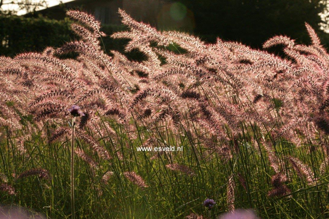 Pennisetum orientale 'Karley Rose'