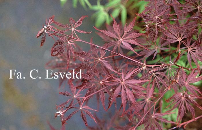 Picture And Description Of Acer Palmatum Beni Tsukasa Shidare