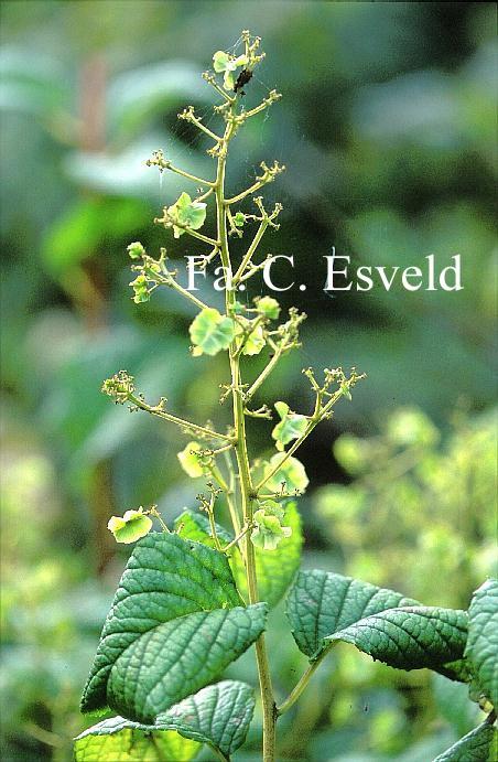 Tripterygium regelii