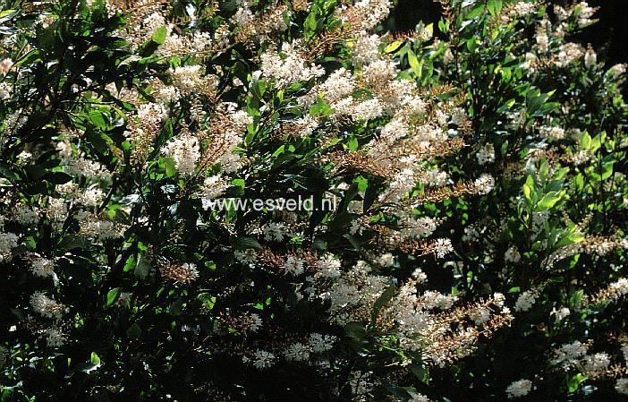 Clethra Alnifolia Paniculata Clethra Alnifolia '