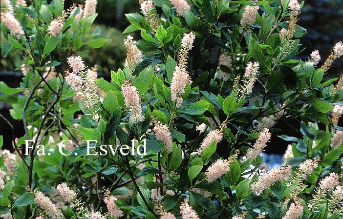 Clethra Alnifolia Rosea Clethra Alnifolia 'rosea'