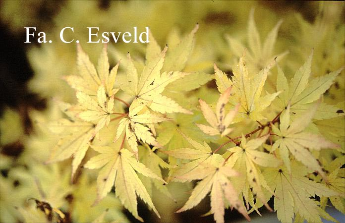 Picture And Description Of Acer Palmatum Red Wood