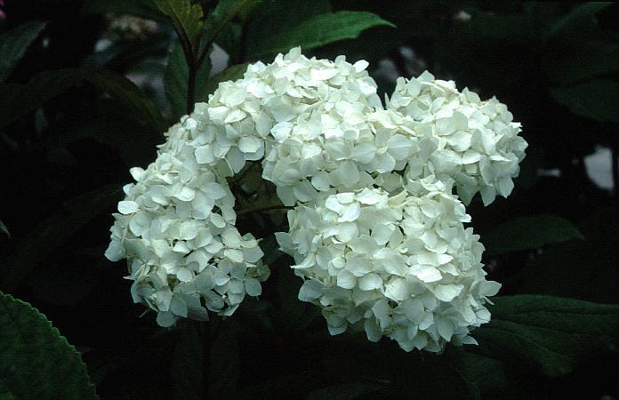 Hydrangea arborescens 'Visitation'