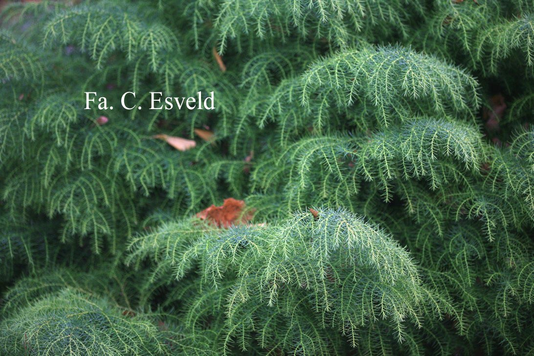 Cryptomeria japonica 'Elegans Viridis'