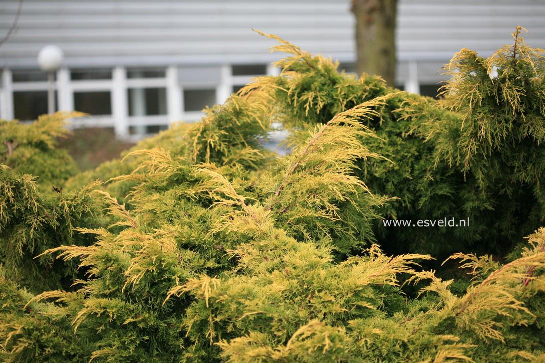 Juniperus pfitzeriana 'Golden Saucer'