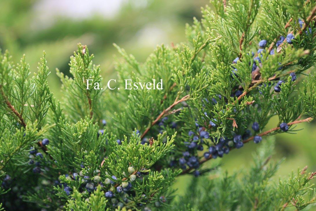 Juniperus pfitzeriana 'Mint Julep'