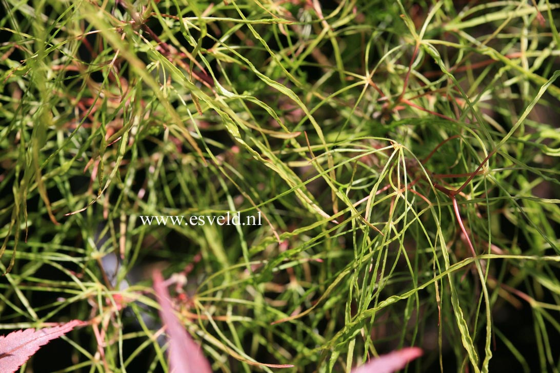 Picture And Description Of Acer Palmatum Fairy Hair