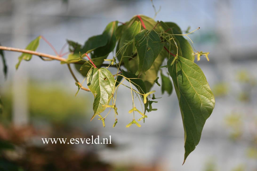 Acer longipes catalpifolium