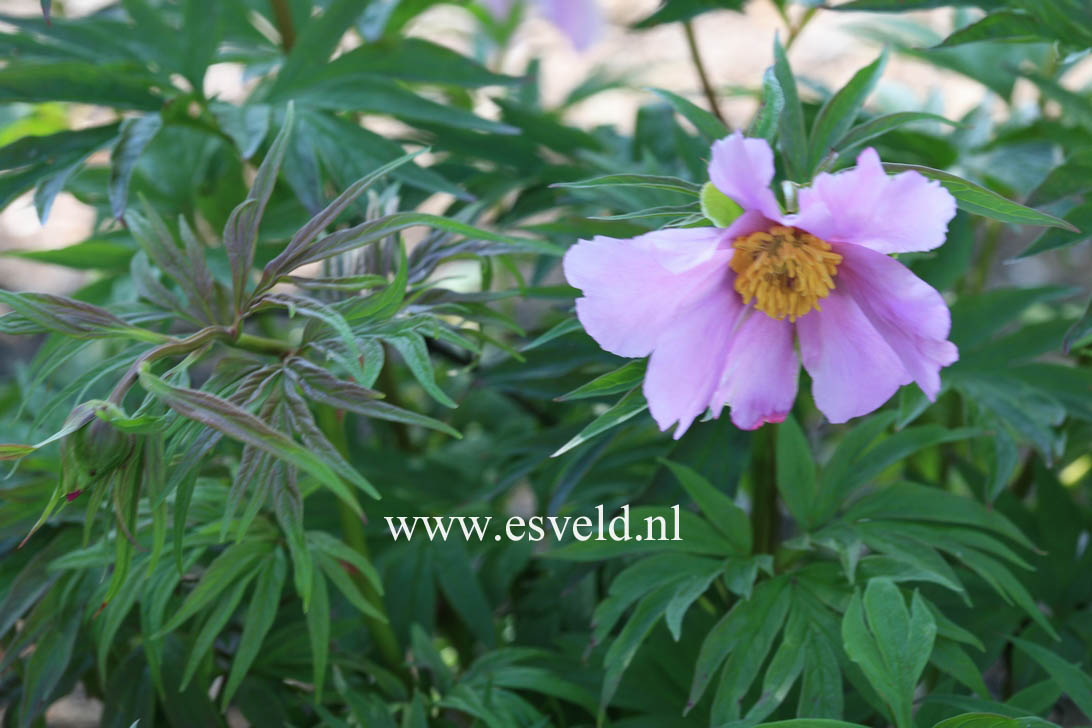 Paeonia veitchii var. woodwardii