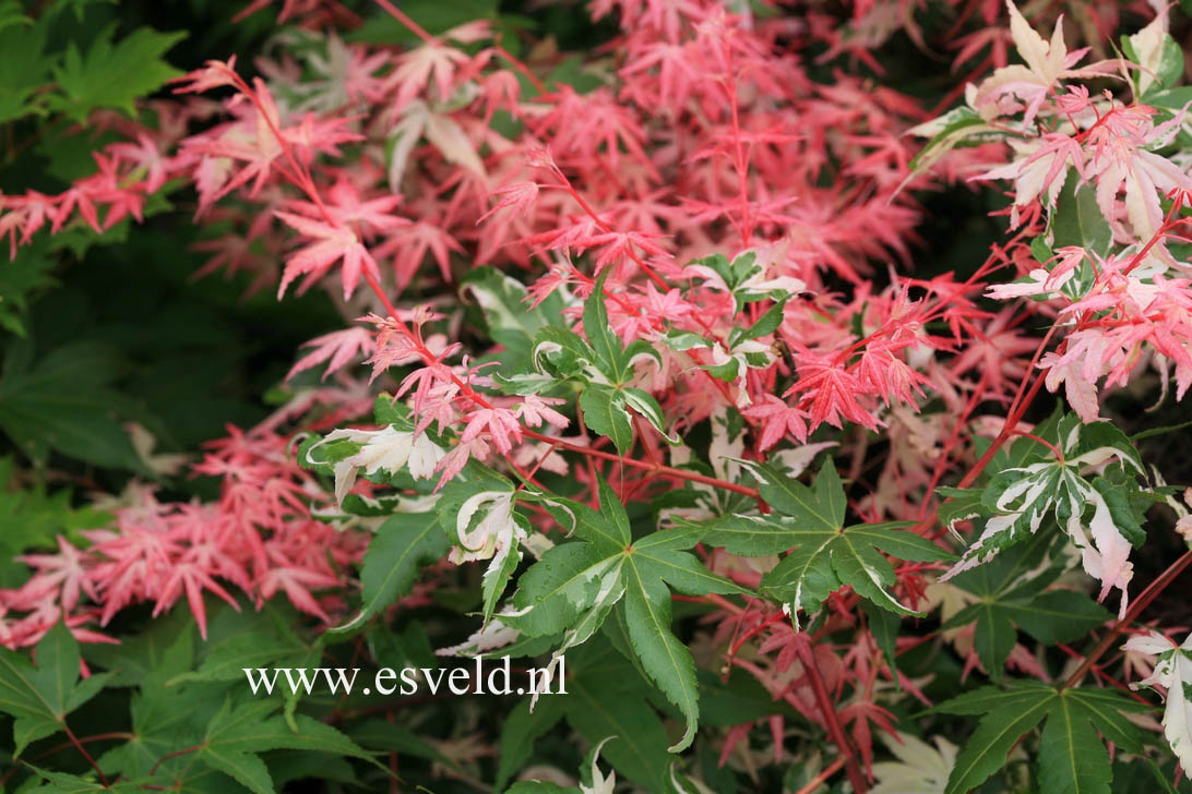 Picture And Description Of Acer Palmatum Taiyoh Nishiki