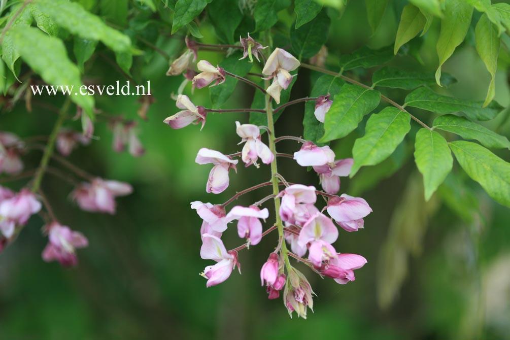 室内绿色藤蔓植物图; wisteria