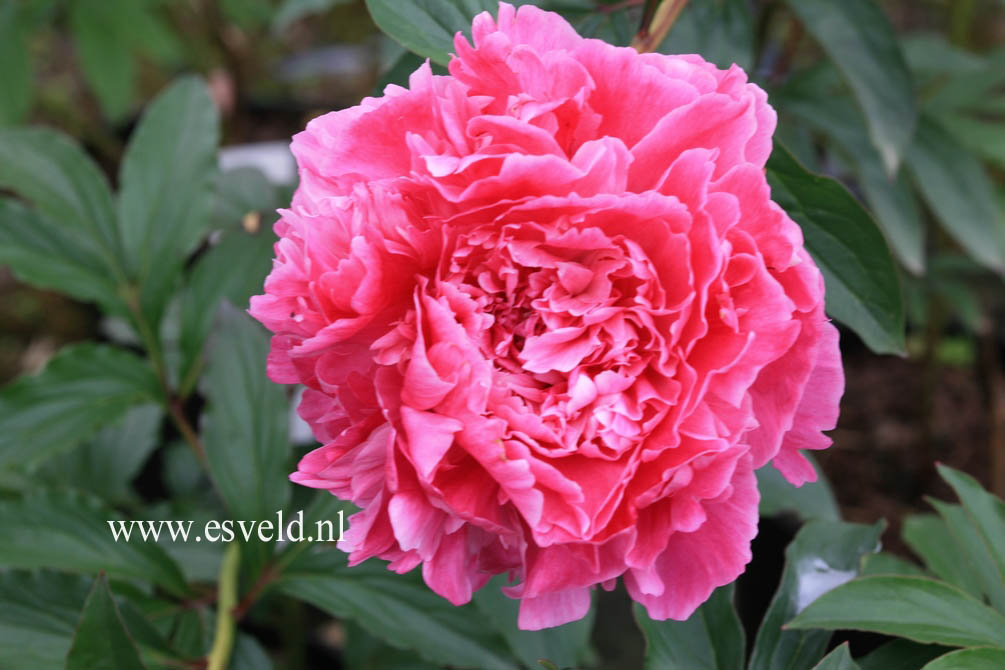 Paeonia 'Prinses Juliana'