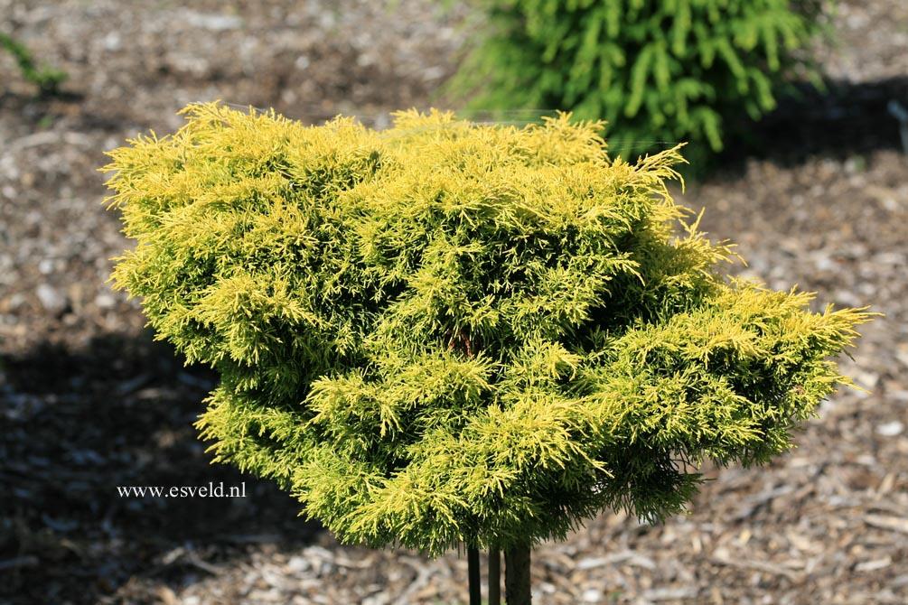 Juniperus pfitzeriana 'Gold Star'