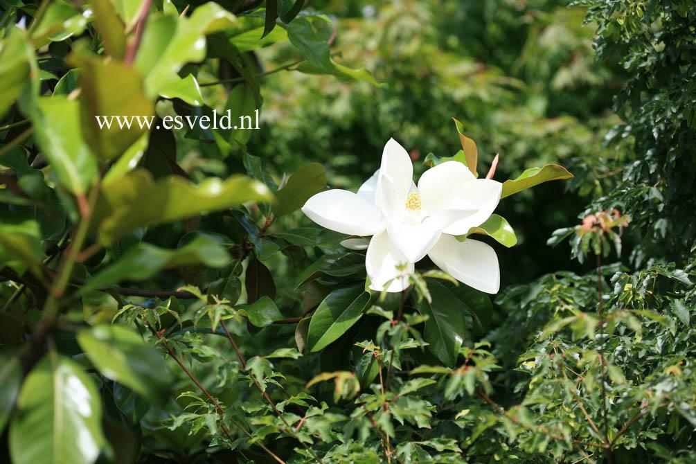 picture and description of magnolia grandiflora samuel. Black Bedroom Furniture Sets. Home Design Ideas
