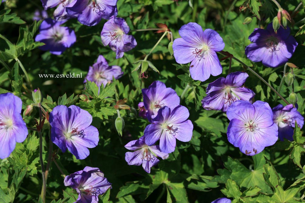 Picture and description of Geranium 'Jolly Bee'
