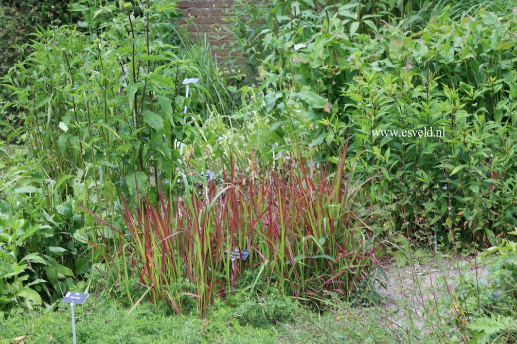 Imperata cylindrica 'Red Baron'