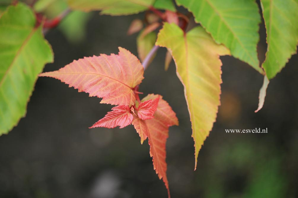 Acer capillipes 'Honeydew'