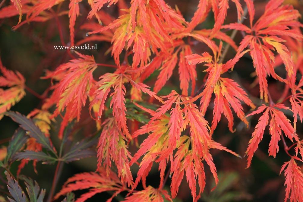 Acer palmatum 'Washi no o'