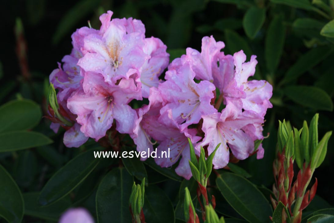 Rhododendron 'James Burchett'